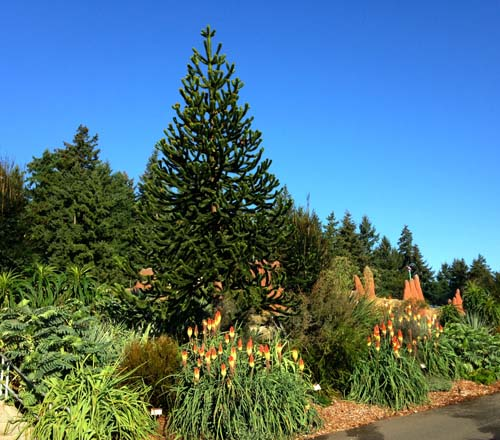 A pathway bordered with dramatic foliage and blooming Kniphofia is punctuated with a monkey puzzle tree (Araucaria araucana) as a bold centerpiece.  Photo: Bryon Jones