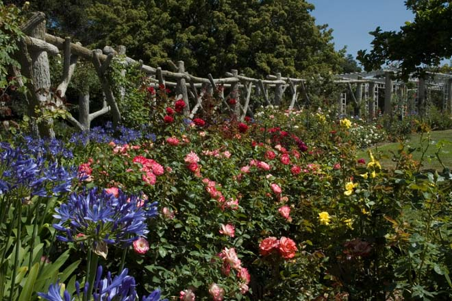 Agapanthus 'Huntington Blue' and 'Cherry Parfait' roses parade in front of the newly restored faux bois arbor. Photo: Courtesy of Huntington Library, Art Collections, and Botanical Gardens