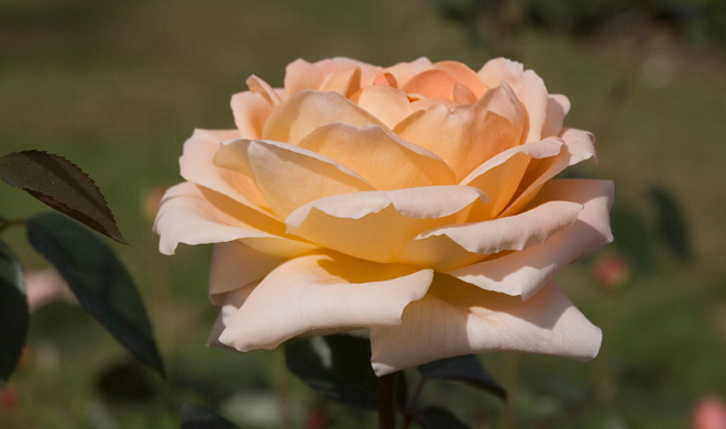 'Tamora' is a deeply fragrant David Austin rose with delicate apricot blossoms. Photo: Courtesy of Huntington Library, Art Collections, and Botanical Gardens