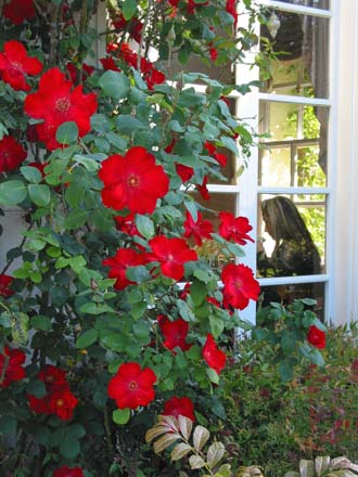 The clear true red of the climbing shrub rose 'Altissimo' frames the window of the Rose Garden Tea Room and Café. Photo: Courtesy of Huntington Library, Art Collections, and Botanical Gardens