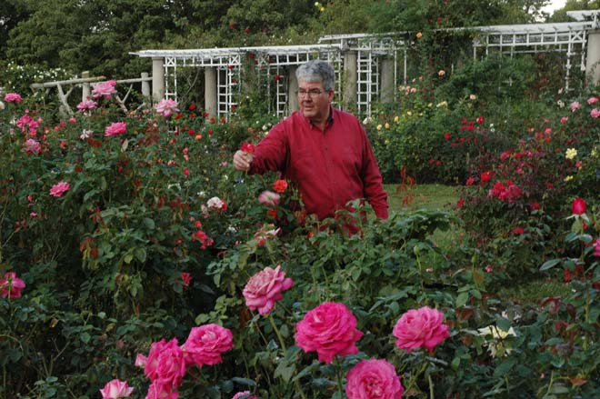 Tom Carruth, the E.L. and Ruth B. Shannon Curator of the Rose Collection, grooming a bed of 'Prima Ballerina' roses. Photo: Courtesy of Huntington Library, Art Collections, and Botanical Gardens