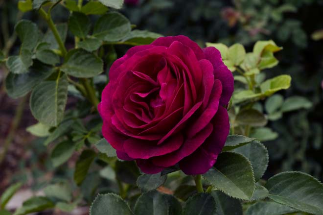 'Twilight Zone' is a grandiflora rose with a deep velvety hue and a strong spicy fragrance. Photo: Courtesy of Huntington Library, Art Collections, and Botanical Gardens