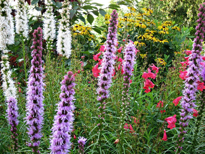 This late-season perennial border filled with blazing star (Liatris spicata), penstemon, and rudbeckia provides color and attracts pollinators.  Photo: Bryon Jones