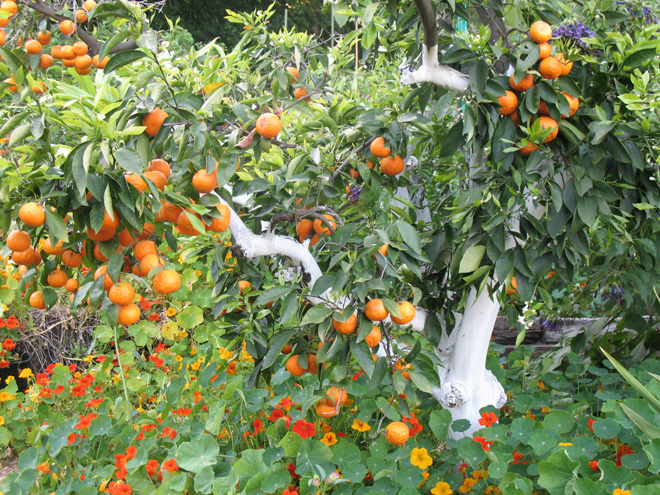 A citrus tree in Yvonne Savio's garden is painted to protect from sun scorch and underplanted with nasturtiums to provide a living mulch. Photo: Yvonne Savio