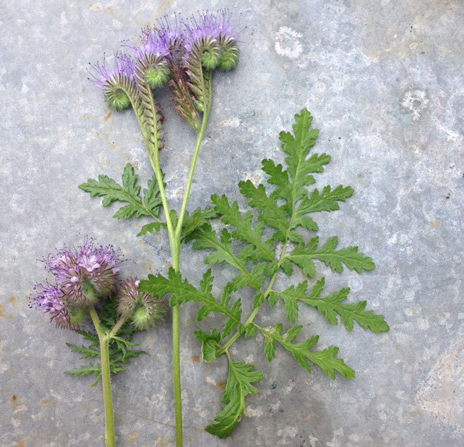 The quirky caterpillar-like blossoms of bee plant (Phacelia tanacetifolia) are produced over a long bloom period, attracting pollinators and boosting pollination. Photo: Lorene Edwards Forkner