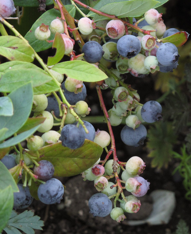 Boost your berry harvest. Photo: Lorene Edwards Forkner