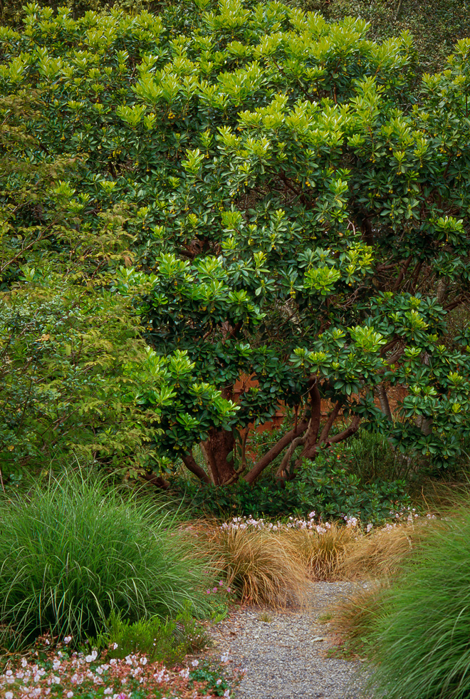 A gravel pathway lined with ornamental grasses and sturdy perennials beneath a strawberry tree (Arbutus unedo) in the sustainable waterwise garden of David Fross.  Photo: Saxon Holt