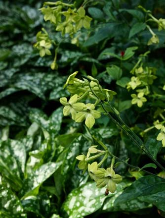 Nicotiana alata 'Lime Green' Photo: Daniel Mount