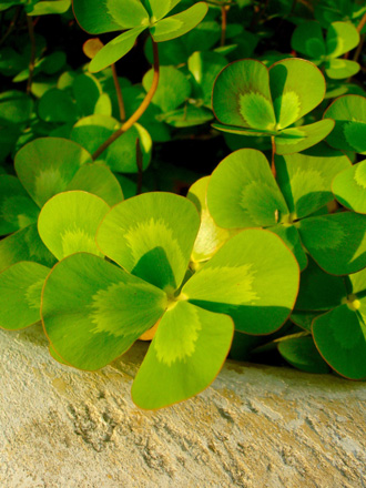 Redwood sorrel (Oxalis oregana) Photo: Daniel Mount
