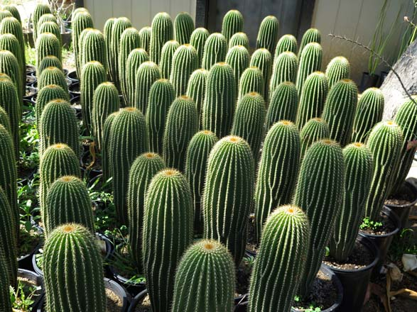 Neobuxbaumia polylopha, one of the finest collector's cacti. Photos: Jeff Moore