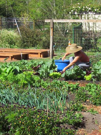MCBG gardener Jaime Jensen harvests greens for the Fort Bragg Food Bank.  Photo: Elizabeth Petersen