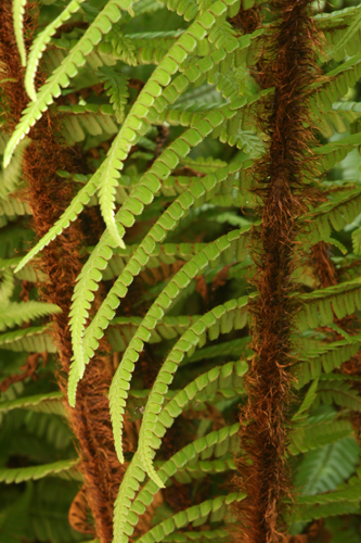 Wallich's wood fern (Dryopteris wallichiana). Photo: Richie Steffen courtesy of Great Plant Picks
