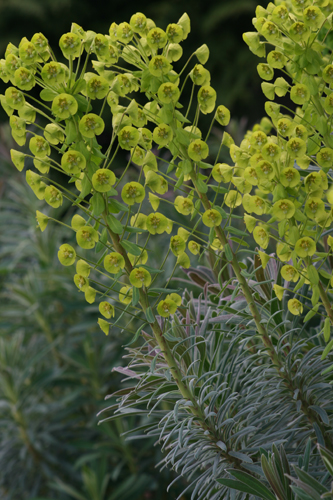 Euphorbia characias ssp. wulfenii Photo: Richie Steffen courtesy of Great Plant Picks.