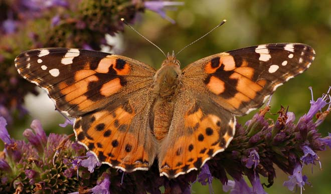 Painted Lady (Vanessa cardui)  Photo: Derek Ramsey, via Wikimedia Commons