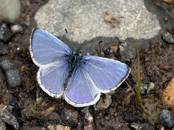 Echo Azure butterfly  Photo: PNWnature via Dreamtime.com