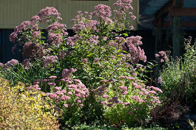 Sweet Joe-Pye weed (Eutrochium purpureum syn. Eupatorium purpureum) is a pollinator and butterfly favorite when it blooms in summer.  Photo: Luke McGuff