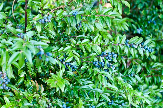 Washington native evergreen huckleberry (Vaccinium ovatum) laden with fruit by late summer in the  Ethnobotany Garden. Photo: Luke McGuff