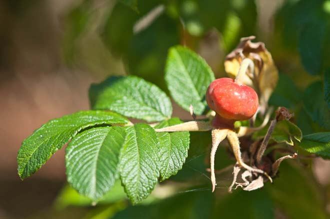 The ripening fruit of Rosa rugosa in late summer. Photo: Luke McGuff