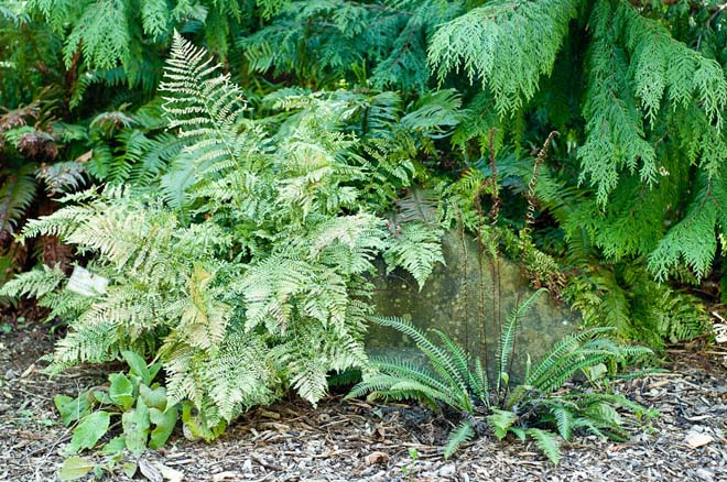 A textural composition of deer ferns (Blechnum spp.) in the Woodland Garden.  Photo: Luke McGuff