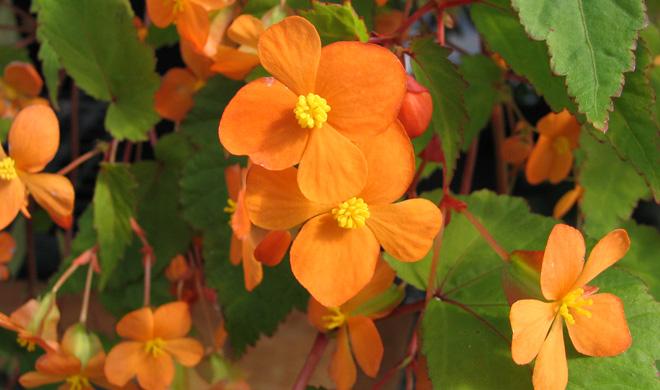 Begonia sutherlandii.  Photo: Sue Milliken, Far Reaches Farm