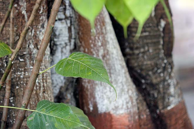 Peepul (Ficus religiosa) leaf detail, in front of the author's childhood home. Photo: Kaizen Writer
