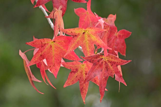Fall color of Liquidambar styraciflua 'Palo Alto'. Photo: Sairus Patel