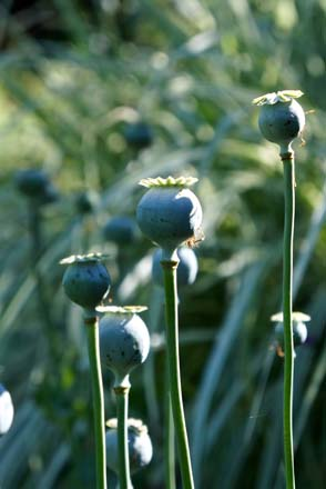 Opium poppy (Papaver somniferum) seed pods in early summer. Photo: Daniel Mount