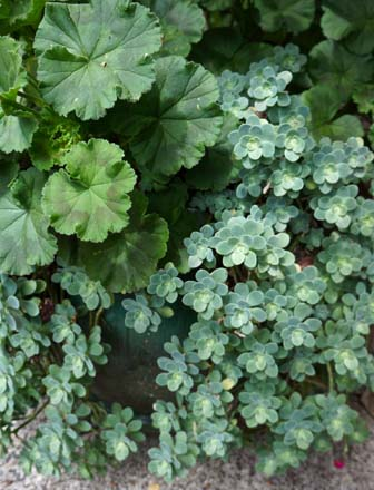 Pelargonium and Sedum palmeri in a green glazed pot. Photo: Daniel Mount