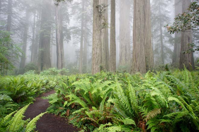 The Lady Bird Johnson Grove, Redwood National Park, California.  Photo: Daniel Mount