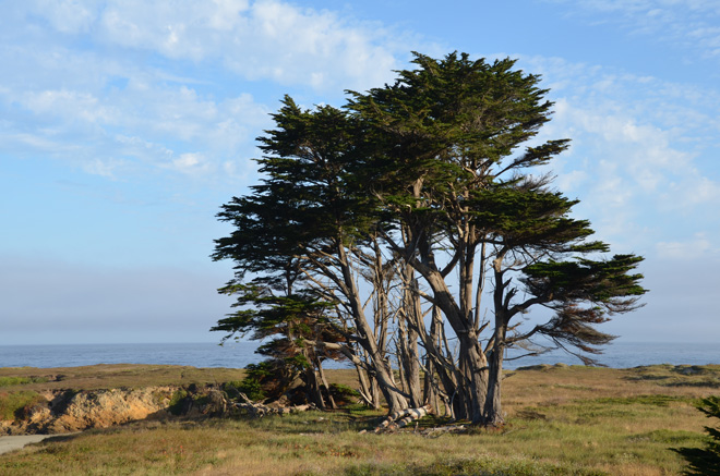 Monterey cypress (Hesperocyparis macrocarpa formerly Cupressus macrocarpa) develops a dramatic form as it provides a good windscreen along the coast.  Photo: Jeff Reimer