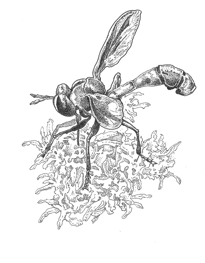 Physocephala burgessi, from the family Conopidae. Illustration: Craig Latker