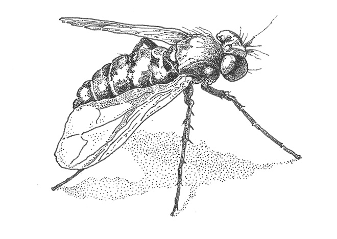 Long-legged fly (Condylostylus longicornis) from the family Dolichopodidae. Illustration: Craig Latker