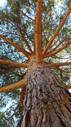 Italian stone pine (Pinus pinea)  Photo: Devaki Bhaya