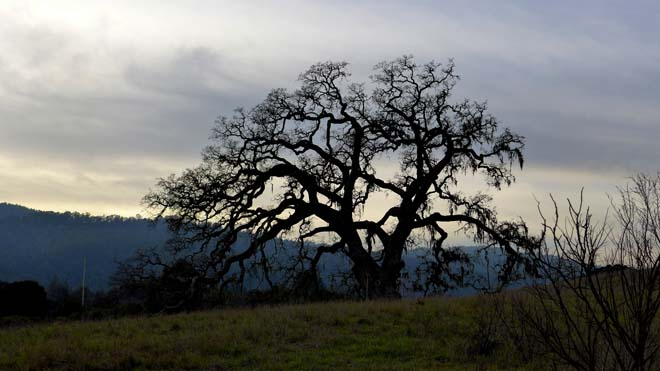 A stately valley oak (Quercus lobata) near Jasper Ridge. Photo: Devaki Bhaya