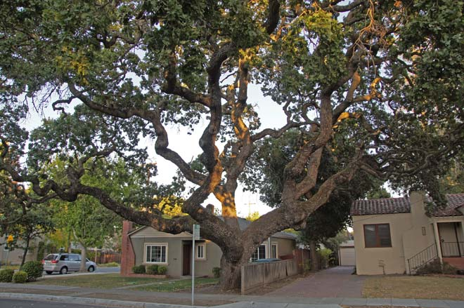 Valley oak (Quercus lobata) in Palo Alto's College Terrace neighborhood. Photo: Sairus Patel
