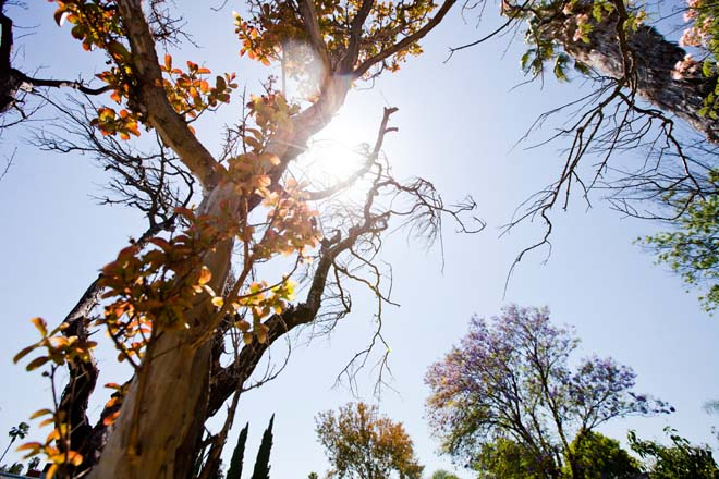 The continuing drought is threatening the survival of trees in Los Angeles.  Photo: courtesy of TreePeople