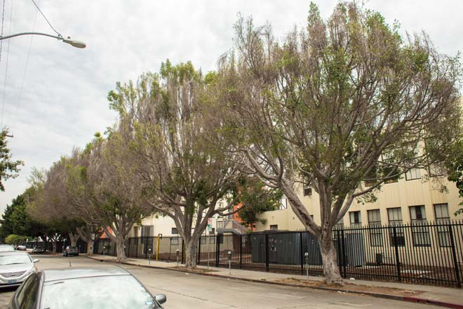 Even mature trees like those in this street planting are showing signs of serious decline. Photo: James Kellogg/TreePeople