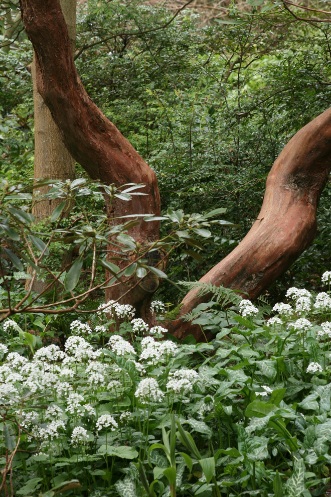 Pachyphragma macrophylla carpets the understory despite challenging dry conditions. Photo: Richie Steffen