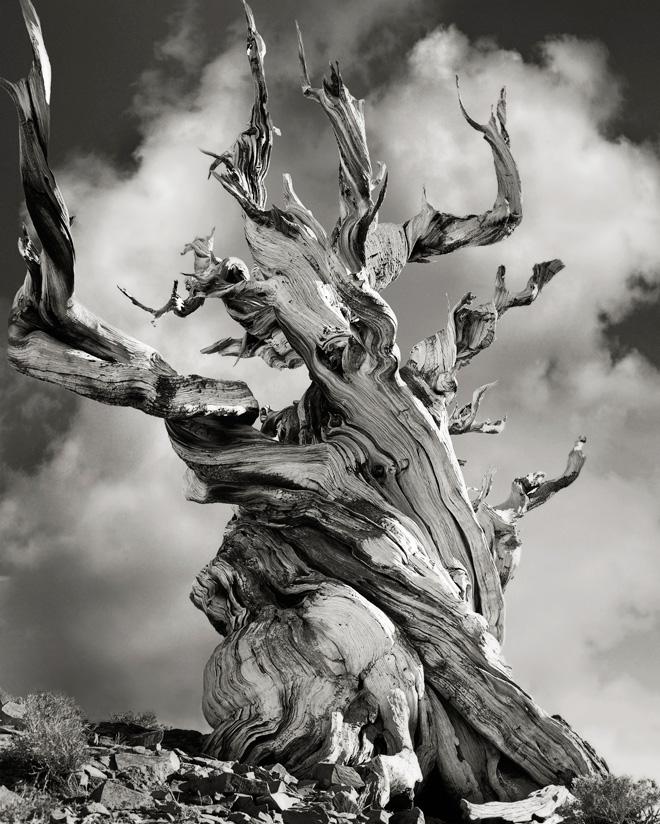 Bristlecone Pine in Schulman Grove Beth Moon, Pig Pine, California USA 2005