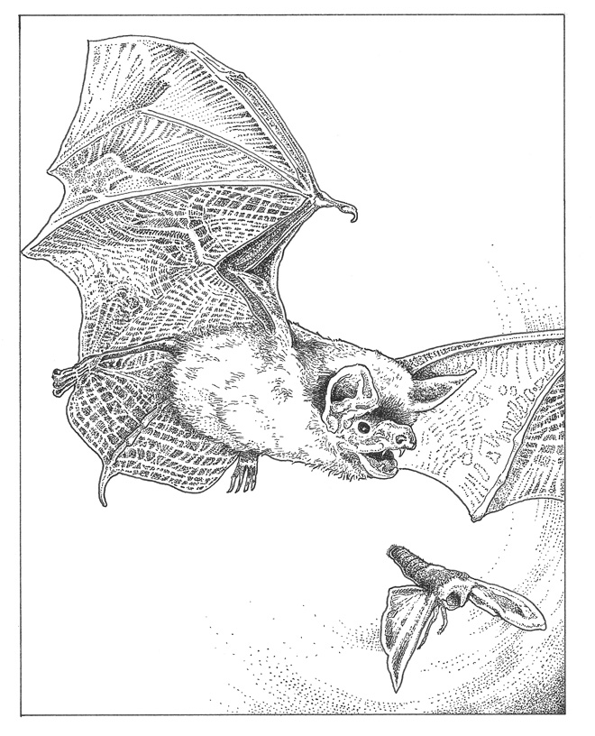 Mexican free-tailed bat (Tadarida brasiliensis) Illustration: Craig Latker