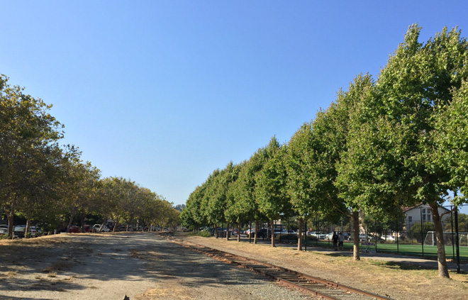 A telling photo taken at Neary Lagoon in Santa Cruz shows adjacent rows of London plane trees. On the left, 'Bloodgood' is looking sparse and yellow, while on the right, 'Columbia' shows some characteristic powdery mildew on new growth, but the canopy is otherwise unaffected. The green at the far right looks like those trees are getting irrigation, but that is artificial turf. Photo: Dave Muffly