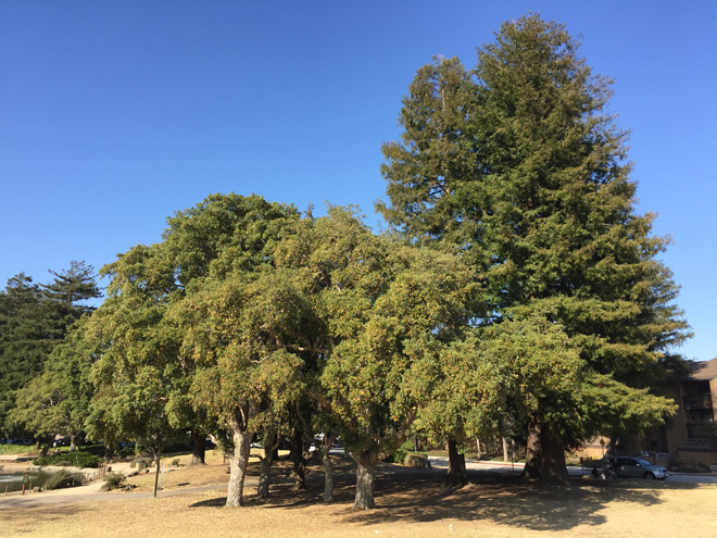 These cork oaks in San Lorenzo Park in Santa Cruz are doing as well as they are because they have access to ground water from the nearby San Lorenzo River. The canopies are marginally less leafy because irrigation has been turned off. Clearly access to deep water varies; elsewhere in the park, some of the trees are not faring as well. Photo: Dave Muffly