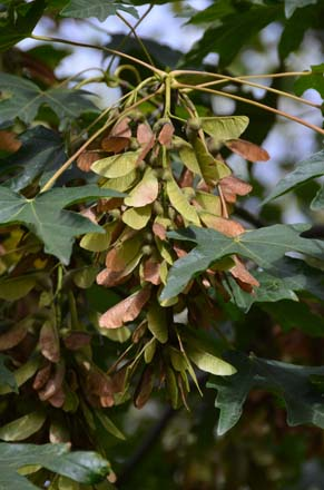 Detail of the foliage and fruit on a bigleaf maple.  Photo: Jeff Reimer