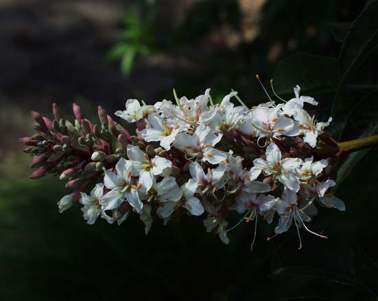 Aesculus californica produces showy candelabras of fragrant, creamy white flowers in spring.  Photo: Jeff Reimer