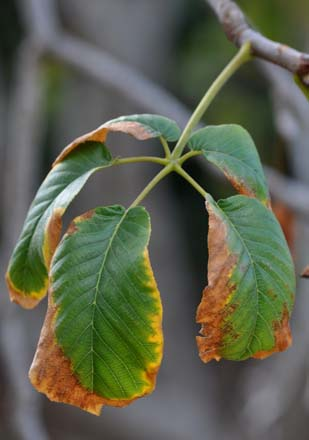 Detail of browning leaves on California buckeye (Aesculus californica) in summer, a seasonal occurrence in the absence of supplemental irrigation. Photo: Jeff Reimer