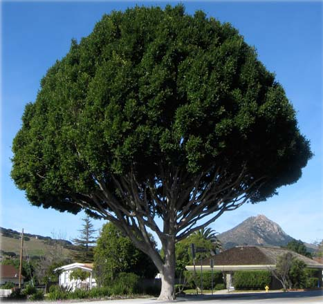 Indian laurel fig (Ficus microcarpa) is a common street tree in Southern California and valued for its massive canopy of dark green foliage.  Photo: Matt Ritter