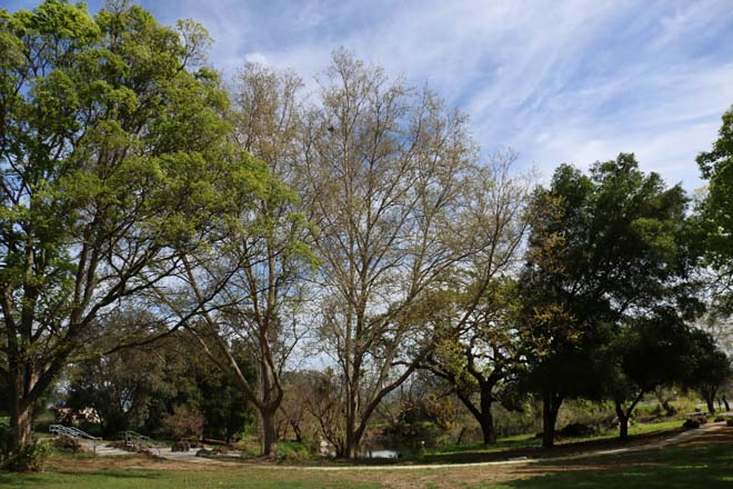 An outdoor classroom at Gavilan College Arboretum surrounding the Duck Pond, left to right: Chinese hackberry (Celtis sinensis), coast live oak (Quercus agrifolia), Lombardy poplar (Populus nigra 'Italica'), and valley oak (Quercus lobata).  Photo: Jane Edberg