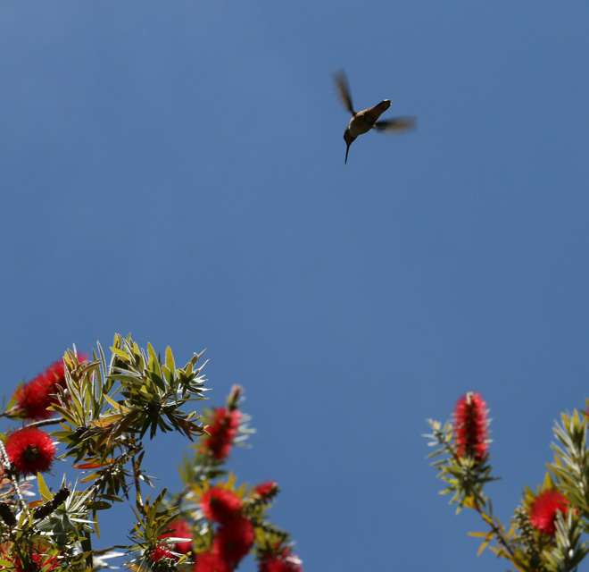 Scarlet blooms on stiff bottlebrush (Callistemon rigidus) are a magnet for hummingbirds. Photo: Jane Edberg