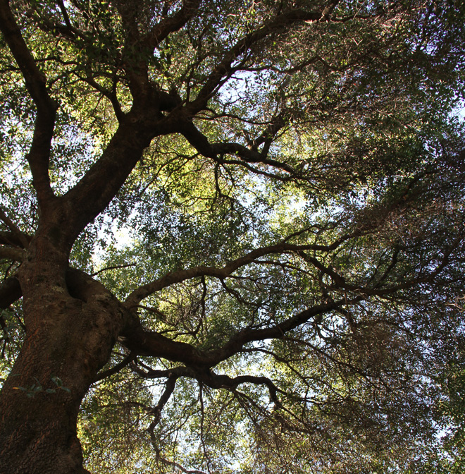 The dwarf interior live oak (Quercus wislizenii var. frutescens) has a sturdy structure and thrives in rocky or poor soils common in the urban West.  Photo: Sean Hogan