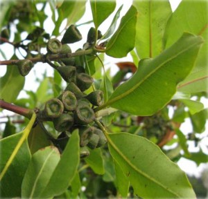 Detail of Lophostemon confertus foliage and fruit.  Photo: Matt Ritter